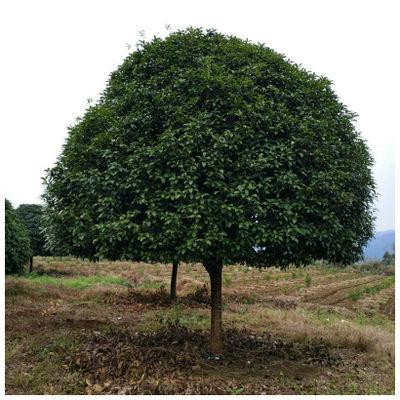 四季桂 佛顶珠 基地直销量大优惠 园林绿化批发供应 规格齐全
