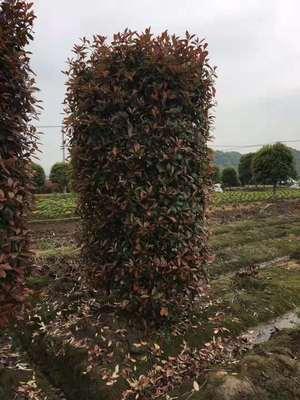红叶石楠 红叶石楠柱 红叶石楠球 规格齐全 苗圃直销