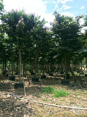 福建大叶紫薇大花紫薇8公分移植苗价格250元基地直销