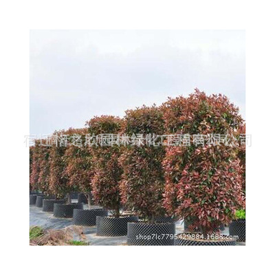 红叶石楠柱批发 销售石楠柱质优 工程绿化灌木高杆红叶石楠