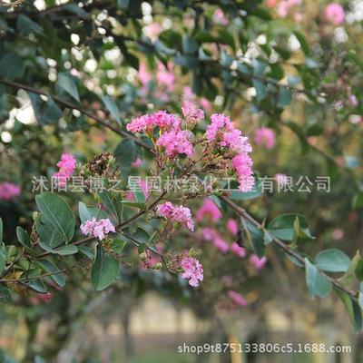 红花紫薇树苗批发 园林绿化苗木百日红 庭院观花植物紫薇苗