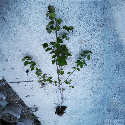 基地现货供应苗木珙桐杯苗 露地工程道路绿植绿化观赏鸽子树
