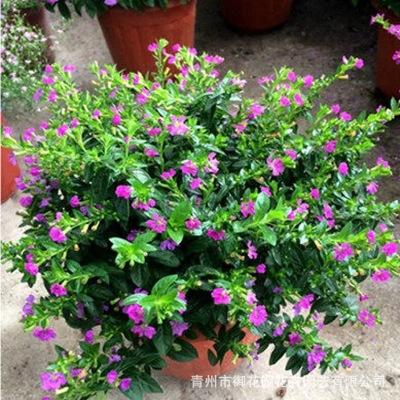 青州基地种植批发绿化满天星租摆花卉景观园林室内装饰满天星盆栽