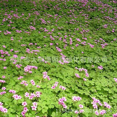 供应红花* 紫叶炸酱草 三叶草各种宿根地被湿地植物