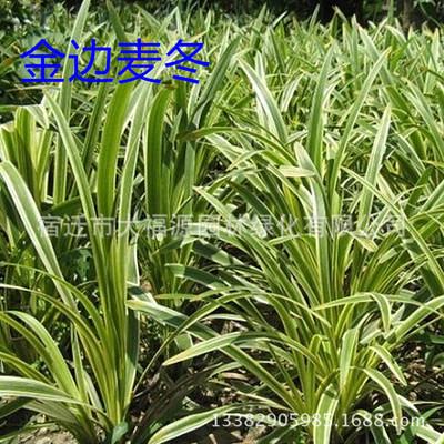 批发阔叶。 金边,日本矮叶麦冬草兰花三七草玉龙草