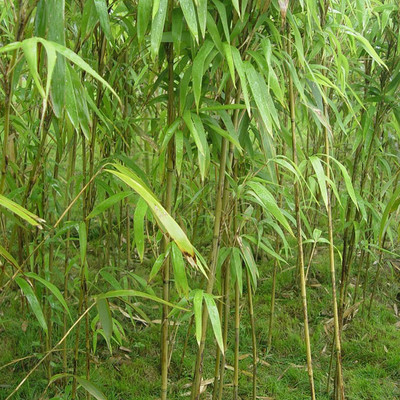 批发茶秆竹质量优可做鱼竿韧性佳绿篱庭院观赏绿化工程