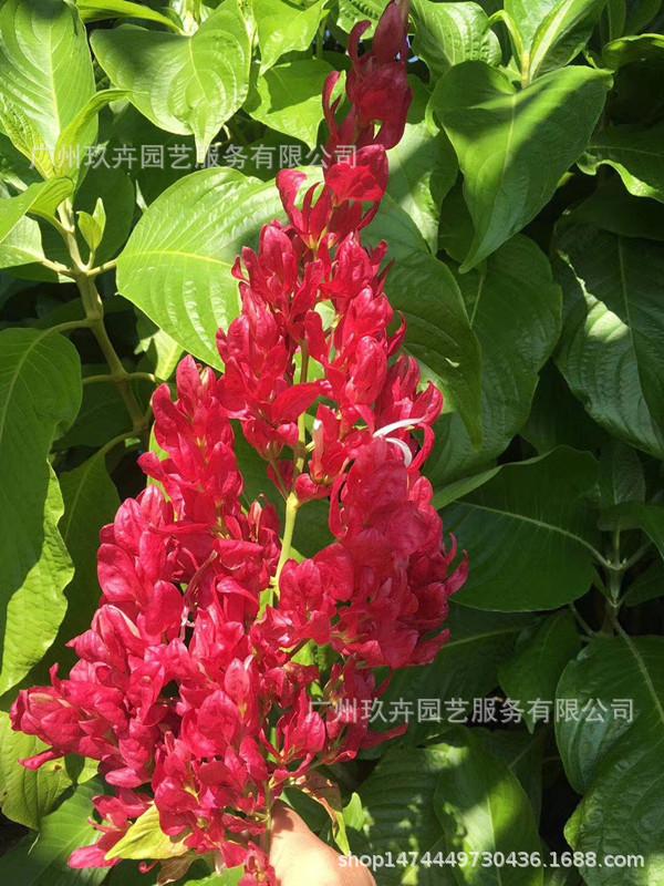 赤苞花 观花植物 观花盆栽 基地直销