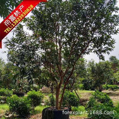 园林绿化耐水植物12分水蒲桃 丛生水蒲桃
