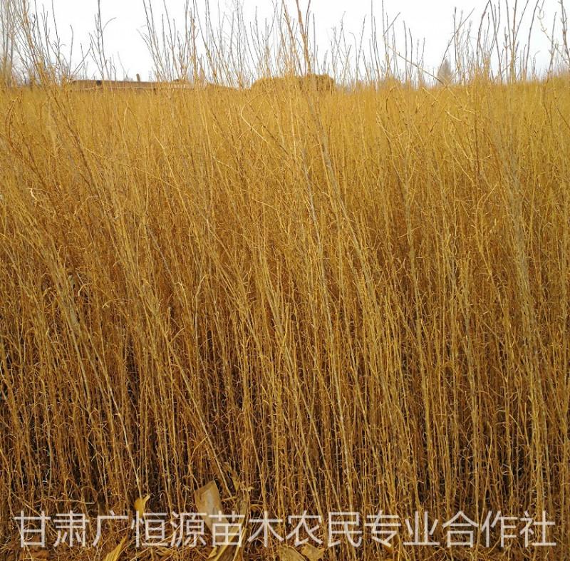 苗圃供应沙漠绿化树苗梭梭苗