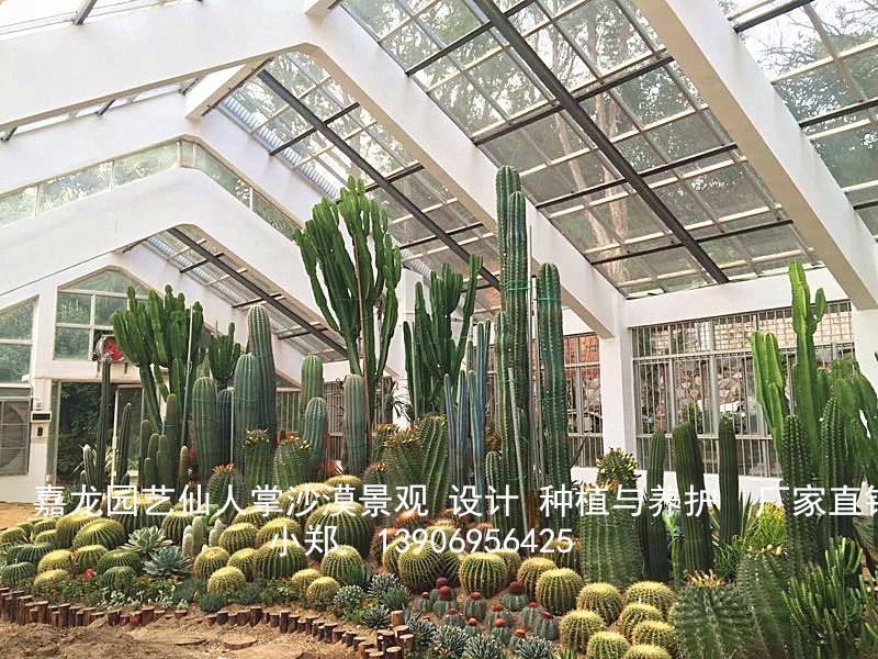 沙漠仙人掌景观布景 造景 沙生植物景观工程实例 大戟科属龙舌兰