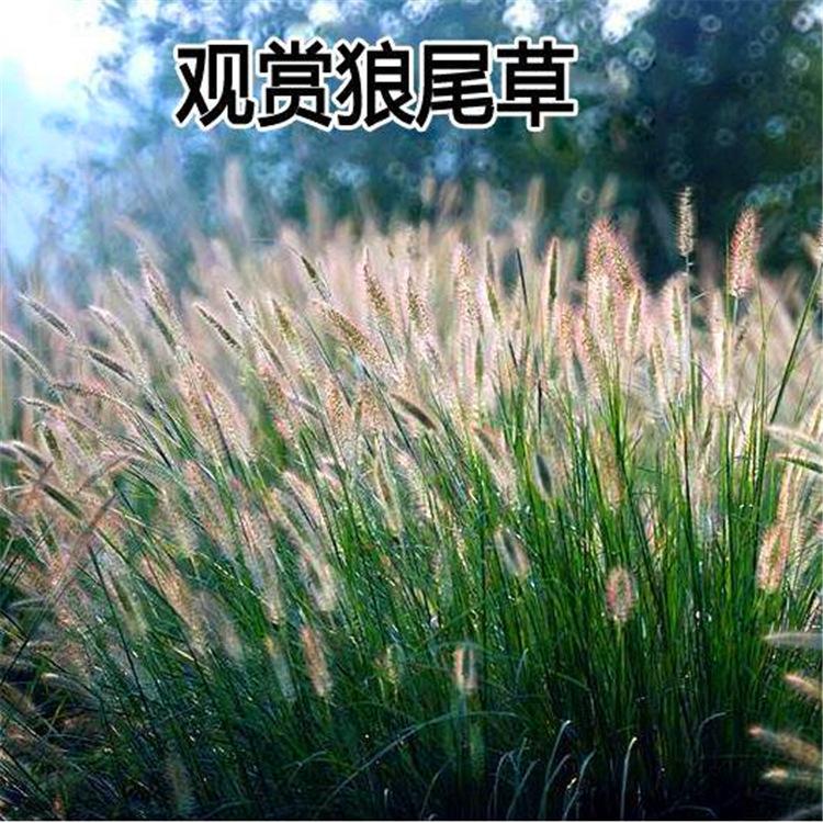 狗尾草种子观赏狼尾草种子旱地常见芮草沙漠牧草杂草护坡草种子
