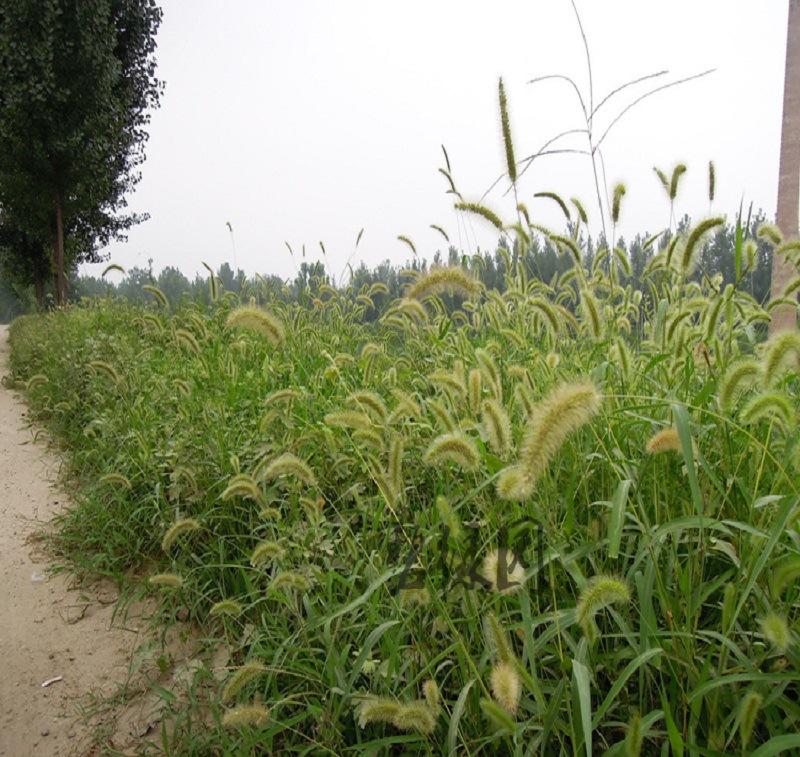 草籽狗尾巴草种子旱地常见芮草沙漠牧草杂草观赏型护坡狼尾草种子