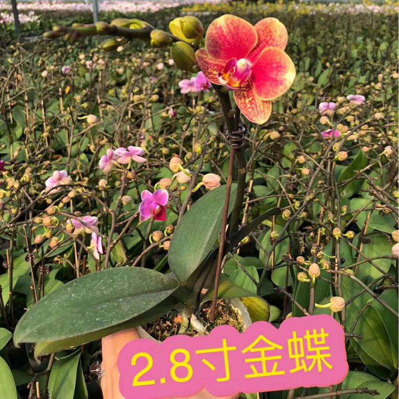 【基地直供】小盆栽绿植花卉室内观花高档年花 2.8寸迷你蝴蝶兰
