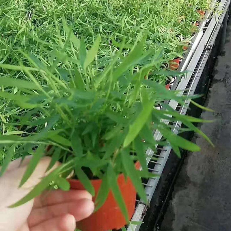 基地直供 花卉室内植物 雨林景观专用 观赏小盆栽 80#姬翠竹