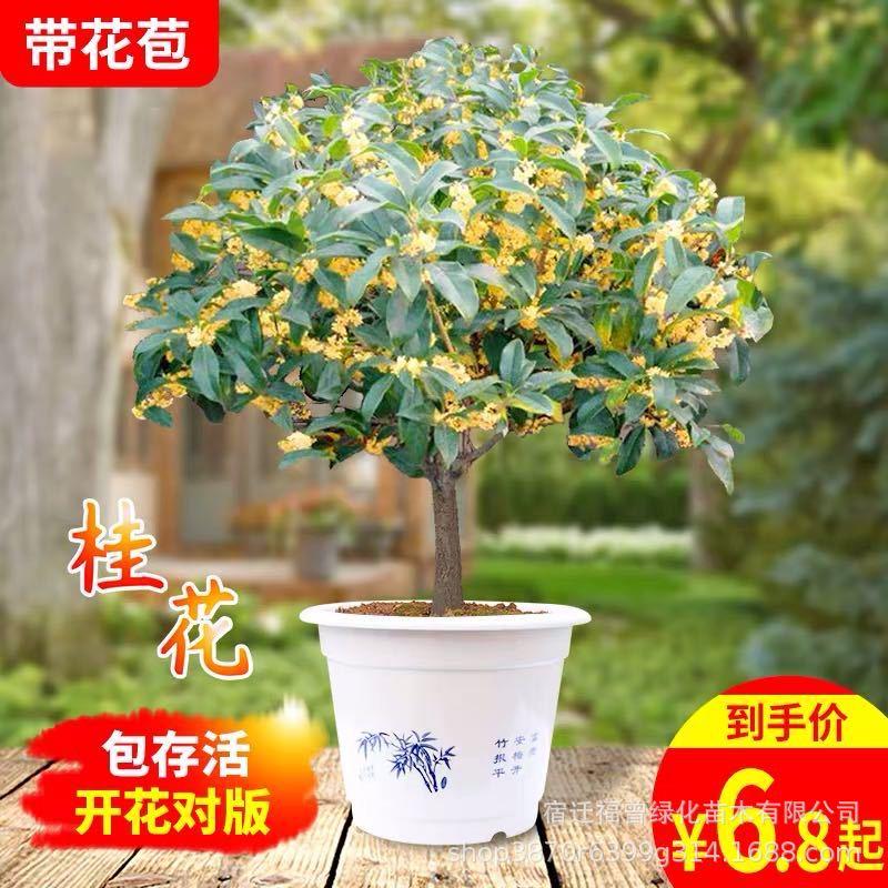 四季桂花树苗 花卉盆栽浓香型桂花 观花植物室内庭院嫁接金桂