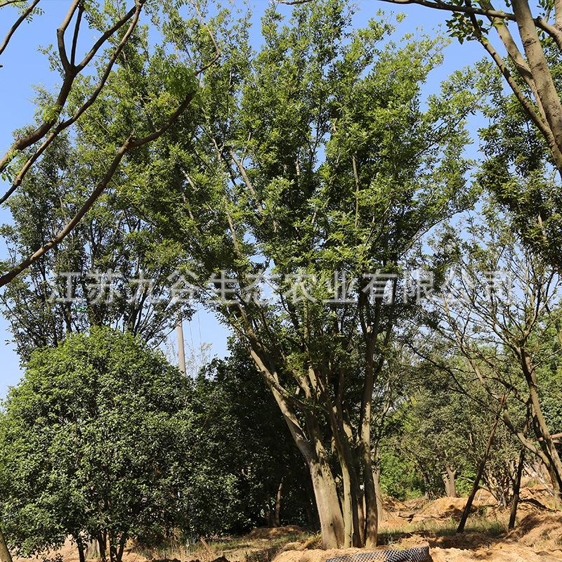 天王唐陵袁氏苗木黄连木移栽高成活工程绿化观叶植物行道树