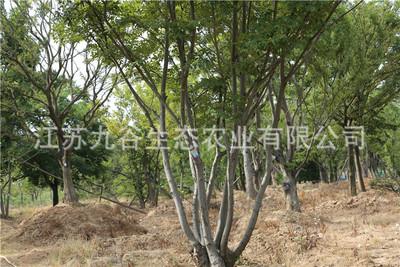 天王唐陵天成苗木基地丛生朴树移栽高成活工程绿化观叶植物行道树