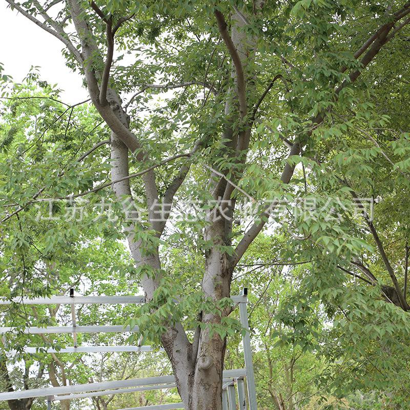 天王唐陵润景苗木基地朴树移栽高成活工程绿化观叶植物行道树庭院