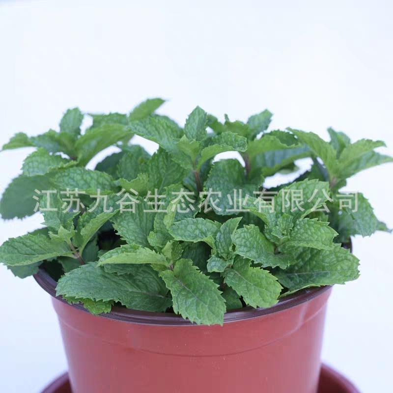 可食用柠檬留兰香薄荷盆栽花卉提神醒脑植物绿化苗 室内驱蚊小苗