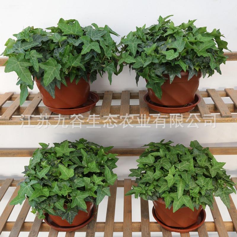 常春藤 盆栽基地批发植物花卉办公室绿植除异味吸甲醛绿植花苗