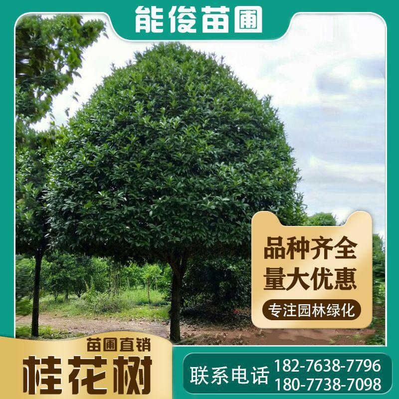 桂林桂花树 供应广西桂花树 米经18-25公分高杆桂花树