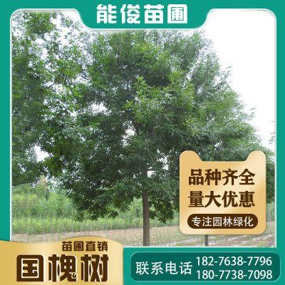 广西桂花树优质桂花树厂家直销15-20-30公分供应贵州桂花树