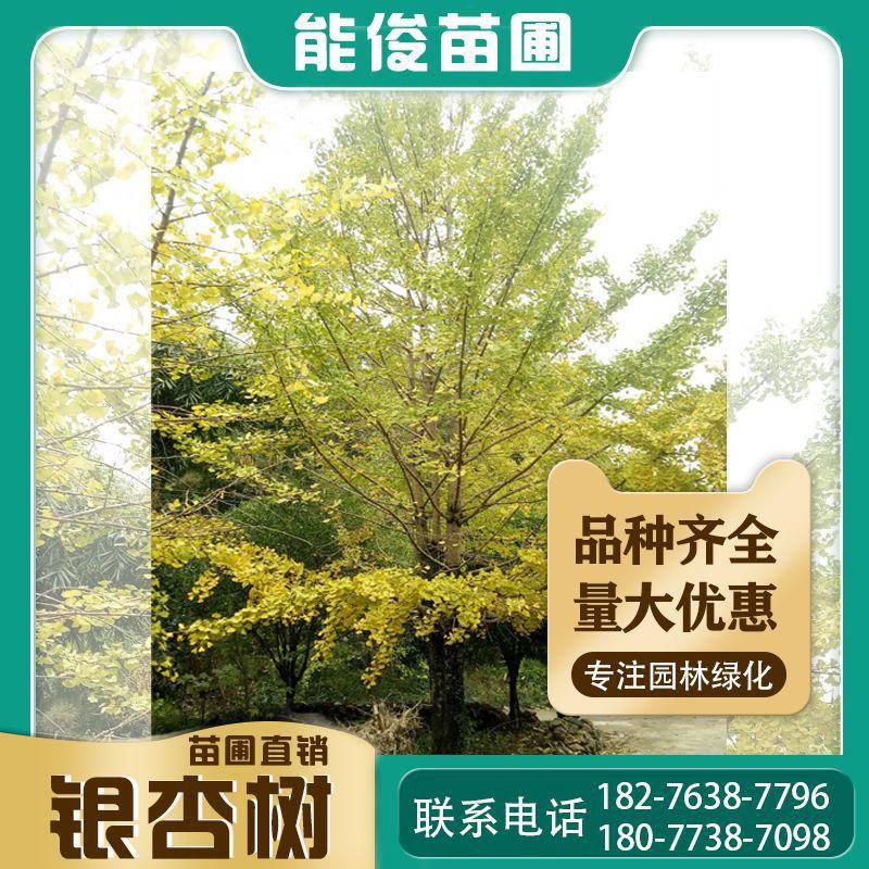 广西桂林银杏树批发15-40公分2000元 量大优惠 供应贵州银杏