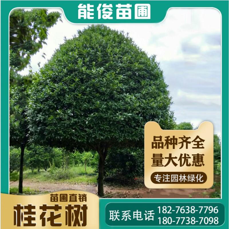 广西桂花树20-46cm工程绿化树批发四季常青优惠