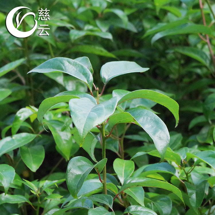 产地直销重庆大量供应香樟树油樟大叶香樟 10000000株香樟