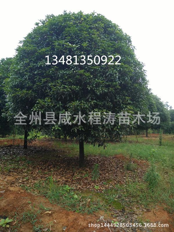 供应桂花树6-35公分 桂林桂花树 广西桂花树 西南大桂花