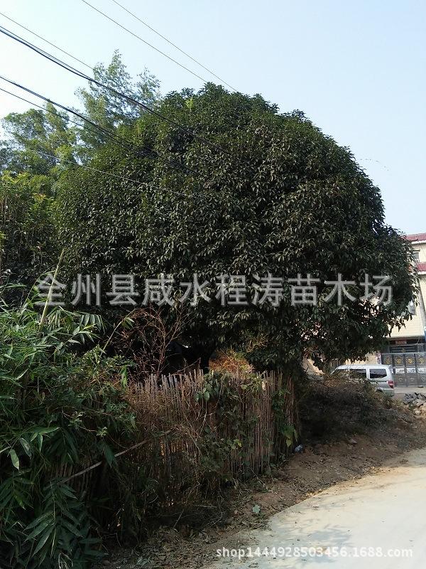 提供优质广西桂花树 八月桂桂花树 四季桂花树 成活高树形优美