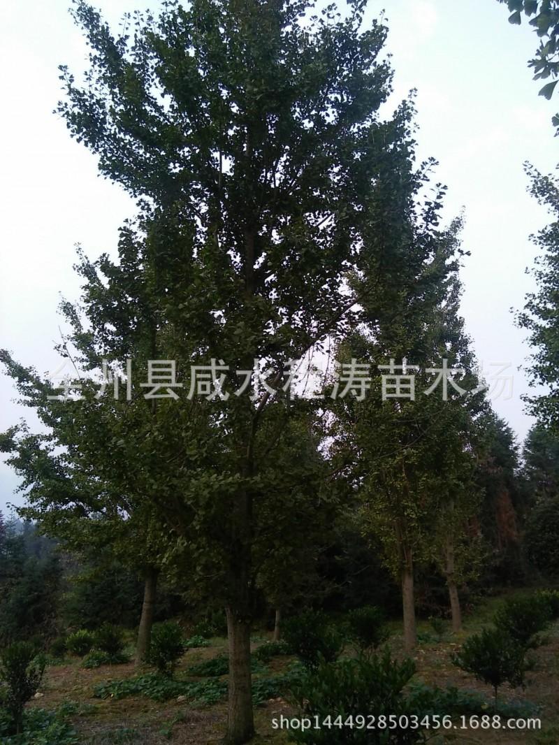 出售银杏树18m25cm28cm30cm广西银杏大银杏树 四川银杏