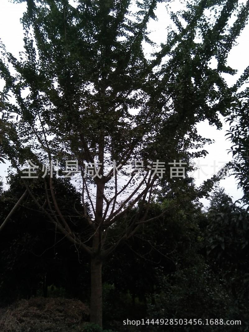 出售银杏树20m25cm28cm30cm广西银杏树 大银杏树 四川银杏