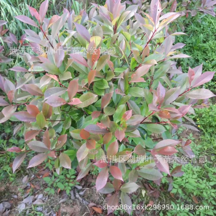 红叶石楠球红叶石楠精品球红叶石楠石楠球绿化工程用苗红叶石楠球