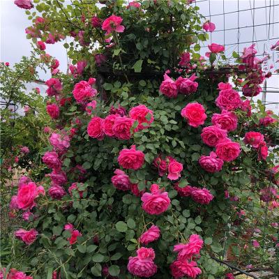 爬藤月季大苗爬墙蔷薇花苗攀援植物四季蓝色阴雨黄金庆典藤小伊