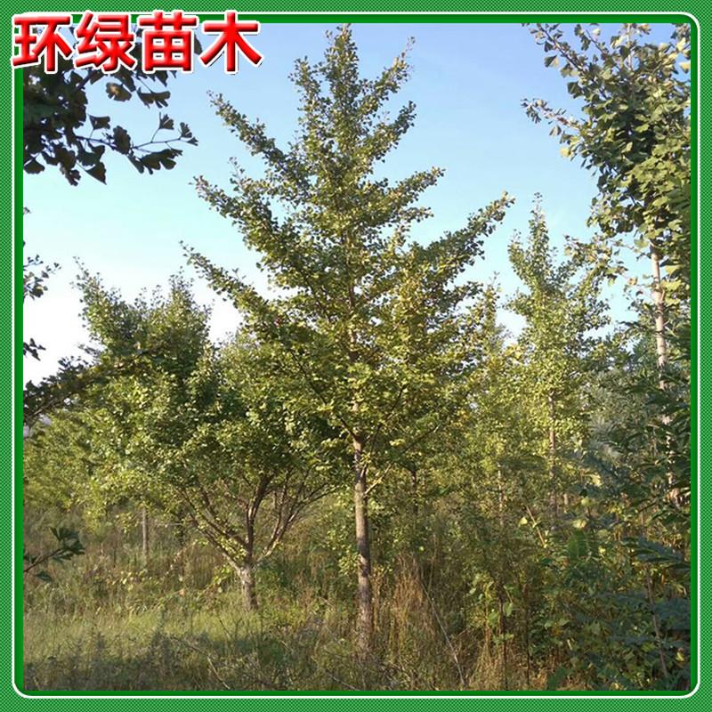 常年批发10,12,15,18,20,25公分银杏树 园林绿化工程行道树银杏