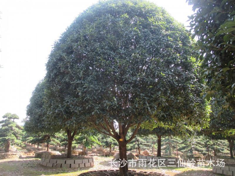 桂花基地供应15cm桂花树胸径15公分桂花精品好树形圆冠饱满价格低