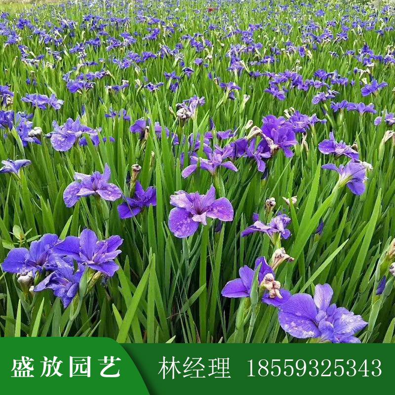 基地直销鸢尾 蝴蝶兰水生植物 多年生草本植物盆栽地栽