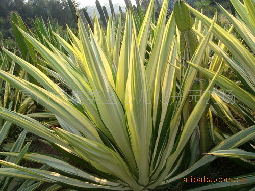 黄纹万年麻Furcraea foetida cv. 'Striata'.龙舌兰科植物 沙生