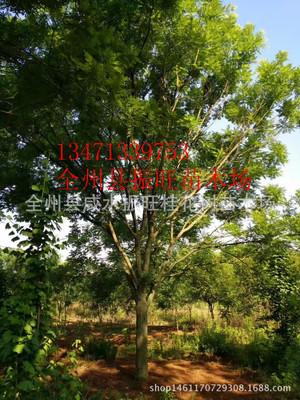 长期热销国槐树 15--30公分 速生国槐规格齐全大量销售 广西国槐