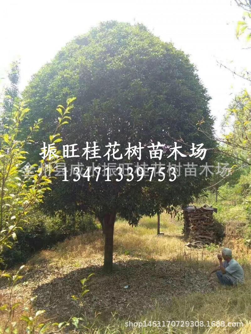 供应重庆桂花树18-20公分,桂林桂花树,广西桂花树,西南大桂花