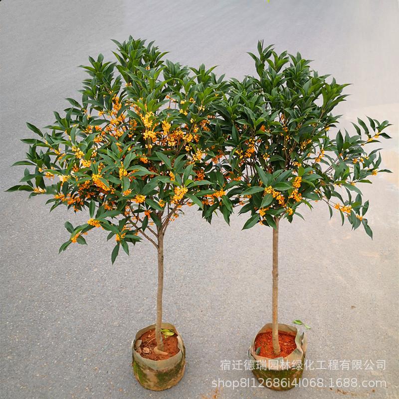 桂花苗庭院植物四季桂花树苗盆栽植物浓香型丹桂嫁接金桂品种齐全