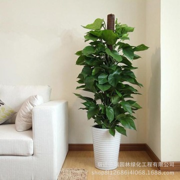 基地直销绿萝盆栽室内吸除甲醛绿植净化空气水培植物花卉吊兰绿箩
