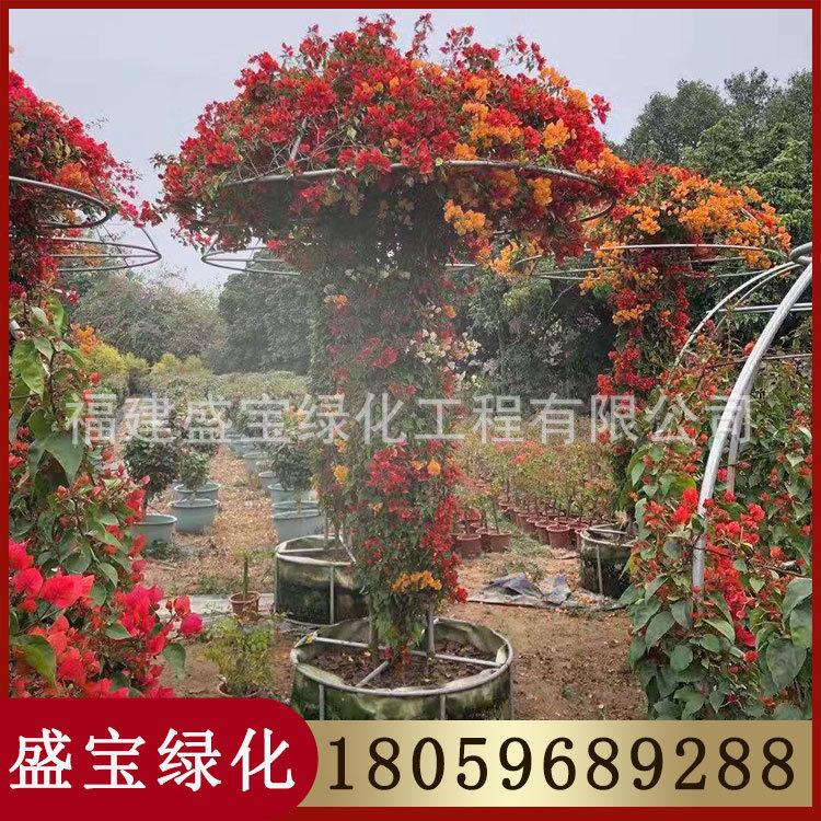 五雀三角梅 蘑菇三角梅 高度3米 冠1.5米 价钱2800元