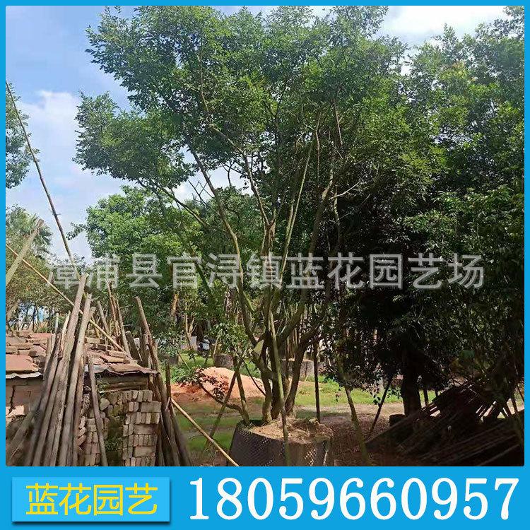 朴树 园林绿化 供应各种绿化树 景观树 行道树 福建基地直销