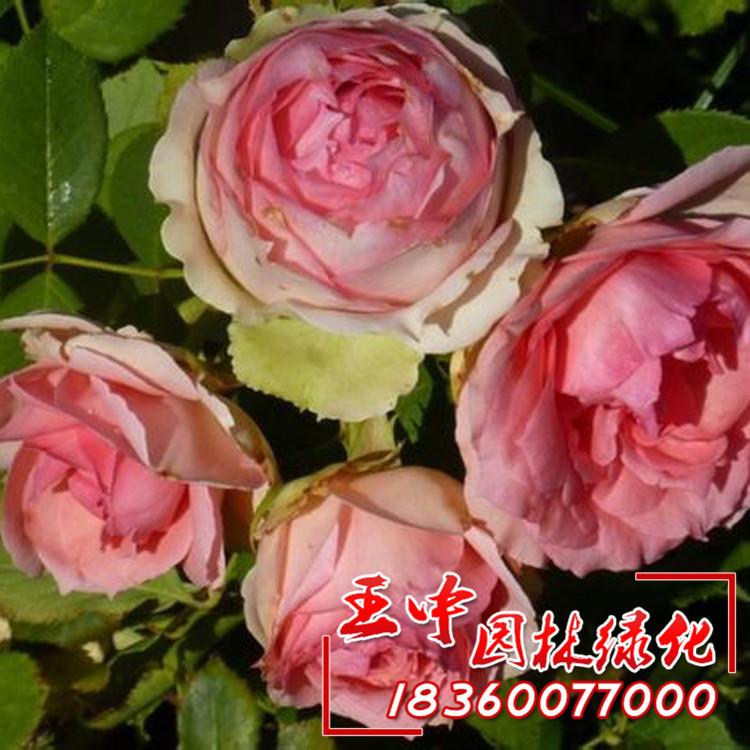 王中园林大量批发 丰花月季 第一夫人月季月季苗大花月季确保品种