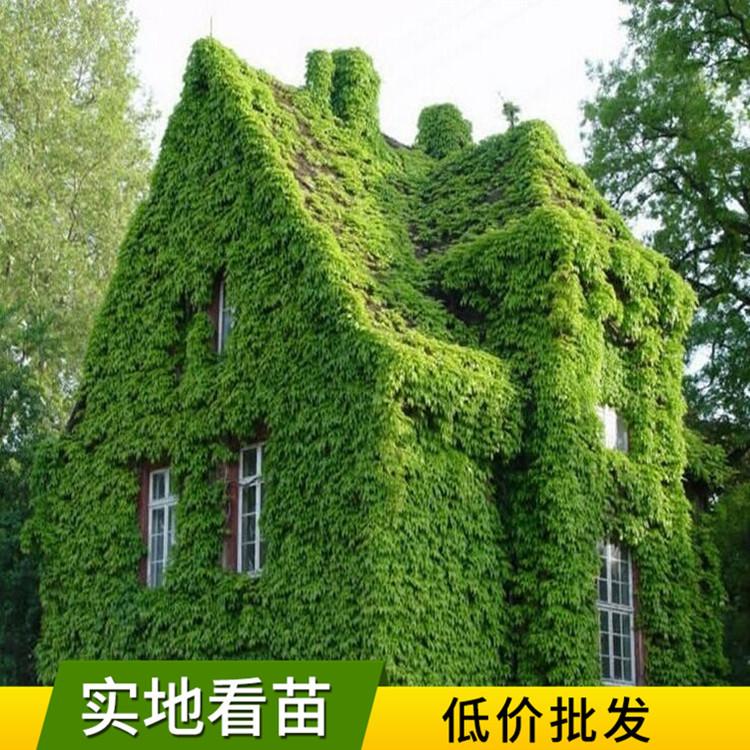 爬山虎苗 庭院别墅遮阳四季常青 化攀援植物三叶地锦五叶地锦