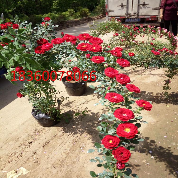 月季花批发 小女孩月季花藤本月季 爬藤植物观花地栽盆栽月季