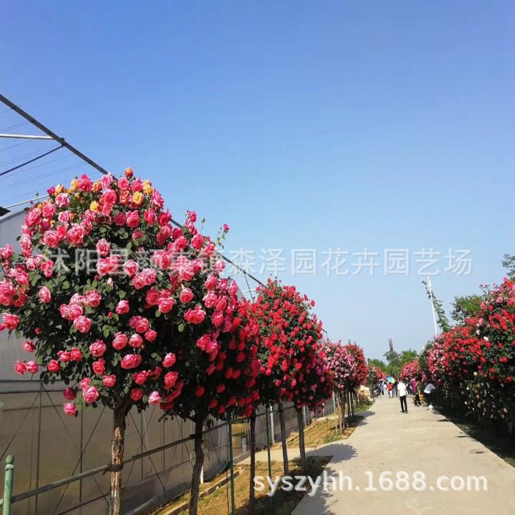 批发多色树状月季花 欧月 嫁接高杆树桩月季盆栽 室外庭院观花