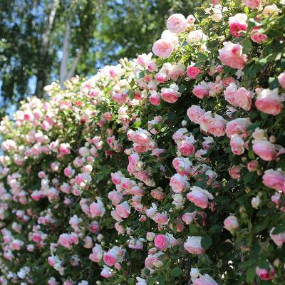 蔷薇花爬藤月季浓香型大花四季爬墙庭院开花不断玫瑰带花卉盆栽